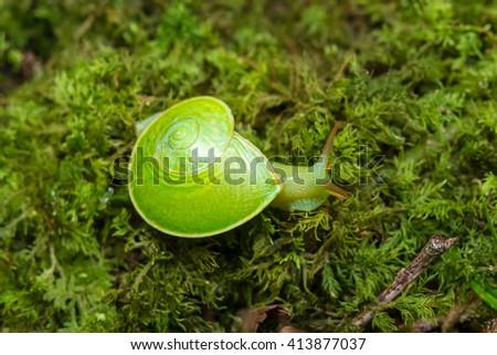 Green Snail , Close-Up Green Snail , Sinistral Snail, Borneo ,  - stock photo