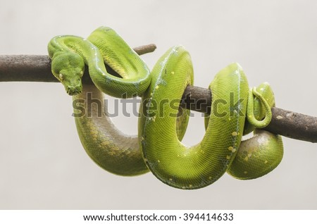 Green snake coiled around tree branch. Green Tree Python.  - stock photo