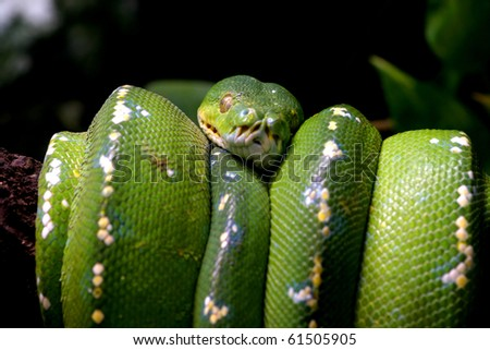 Green snake curled up on a branch, nature animal photo - stock photo