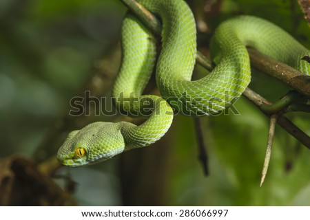 Green Snake in rain forest. - stock photo