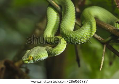 Green Snake in rain forest. - stock photo