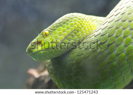 Green snake perched on a branch waiting for prey. - stock photo