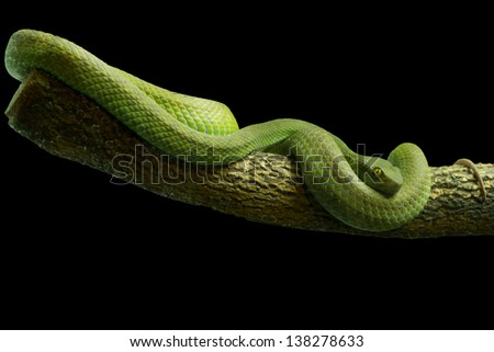 Green Snake with black background. - stock photo