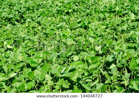 Green soy plant leaves in the cultivate field - stock photo