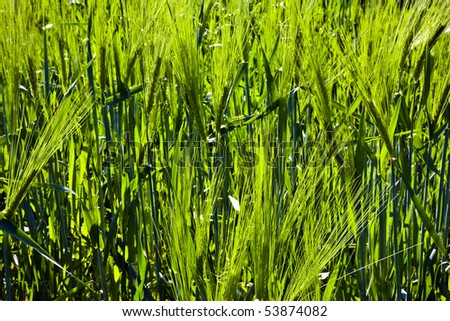 green spike of corn in the wind - stock photo