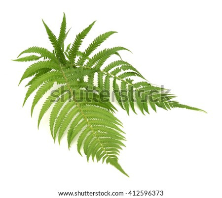 green sprig of fern isolated on white background - stock photo