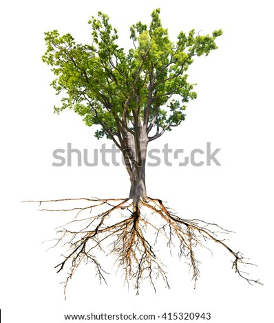 green spring oak tree with root isolated on white background - stock photo