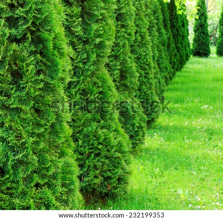 Green spring row of thujas  - stock photo