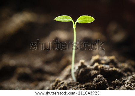 Green Sprout Growing From Seed Isolate On White Background. Spring Symbol, Concept Of New Life - stock photo