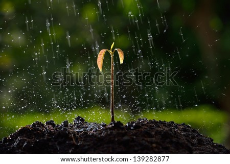 Green sprouts in the rain. (mango tree) - stock photo