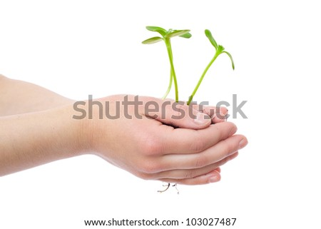 Green sprouts of sunflower with roots in child's hands, isolated on white - stock photo