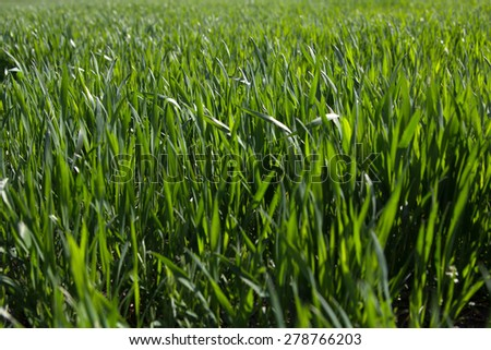 Green sprouts of wheat in the green field - stock photo