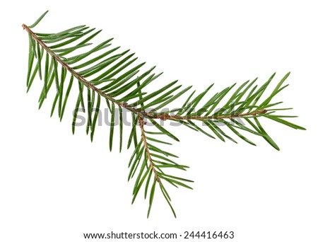 Green spruce branches isolated on a white background - stock photo