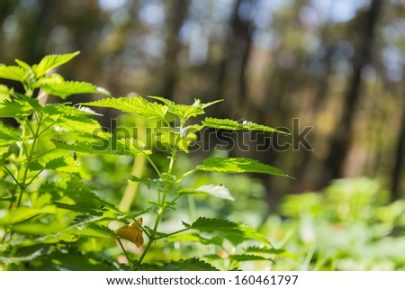 green stinging nettle in forest - stock photo