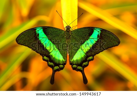 Green swallowtail butterfly resting on a leaf in morning nature. - stock photo