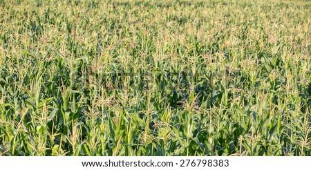 green sweet corn field background - stock photo