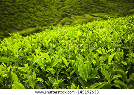 Green tea bud and leaves. Tea plantation in Bangladesh - stock photo