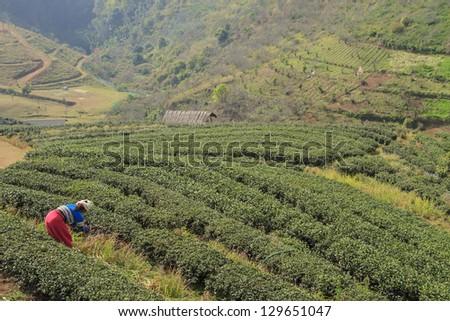 Green tea fields. - stock photo