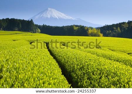 Green tea fields spread out below Mt. Fuji - stock photo