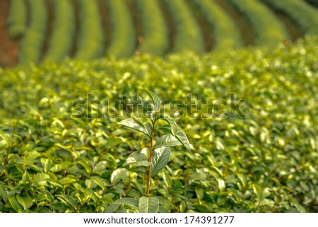 Green tea fresh leaves. Harvesting tea plantation. Thailand - stock photo