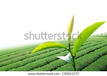 Green tea leaf in the  tea plant - stock photo