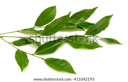 Green tea leaf isolated on white background - stock photo