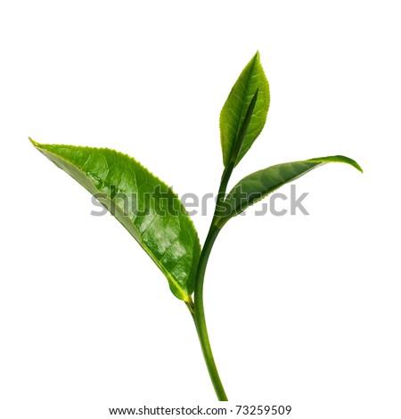 Green tea leaf isolated on white background. - stock photo