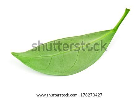 green tea leaf on white - stock photo