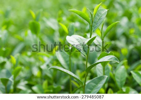 Green tea leaves in a tea plantation in the daytime. - stock photo