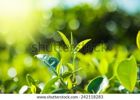 Green tea  leaves on tea plantations,Sri-Lanka - stock photo