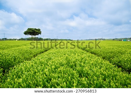 Green Tea Plant with blue sky - stock photo
