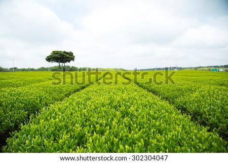 Green Tea Plant with blue sky - stock photo
