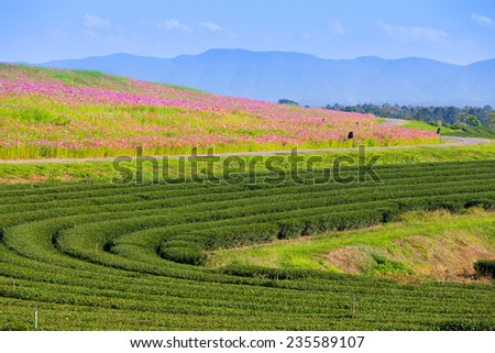 green tea plantation and cosmos flowers and blue sky background. - stock photo