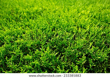 Green Thuja (cypress) hedge texture close-up view - stock photo