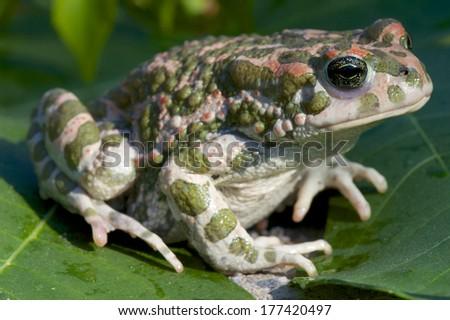 Green toad / Bufo viridis - stock photo