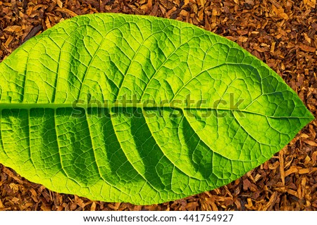 Green tobacco leaf  on dry smoking tobacco background, close up - stock photo