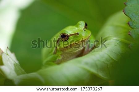 Green Tree Frog - stock photo