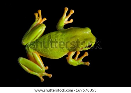 Green Tree Frog (Litoria caerula) isolated on a black background - stock photo