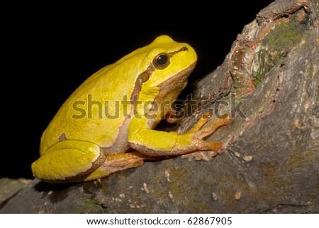 Green Tree Frog on a branch (Hyla arborea) - stock photo