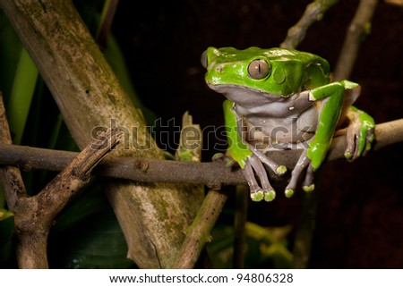 green tree frog on branch of tropical rain forest. Amazon amphibian sitting in jungle. - stock photo
