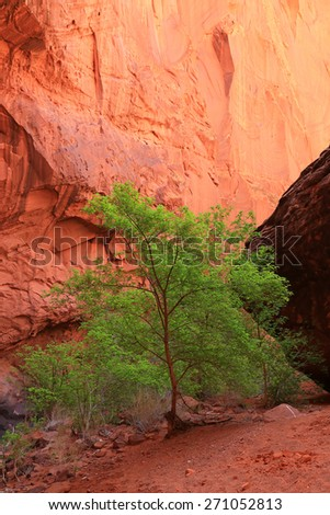 Green tree in a red sandstone canyon, Utah, USA. - stock photo