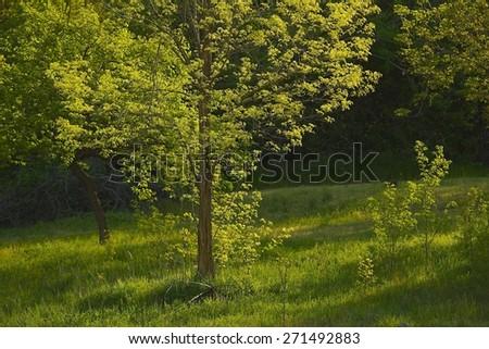 Green Tree in Spring - stock photo