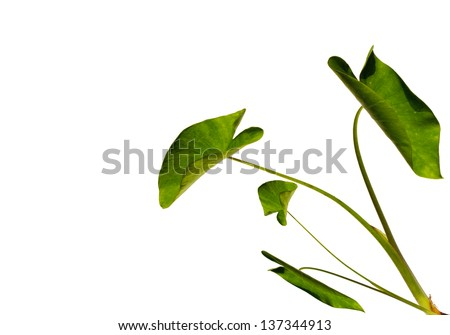 Green tree on a white background.scientific name colocasia gigantea Hook.f - stock photo
