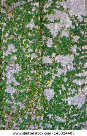 Green tree on concrete wall. - stock photo