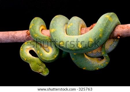 Green Tree Python (Adult) perched on tree limb - stock photo