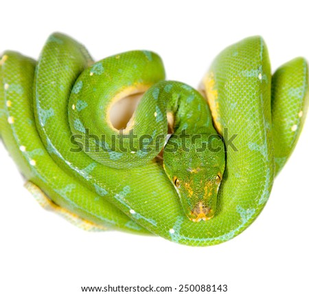 Green tree python, chondros isolated on  white - stock photo