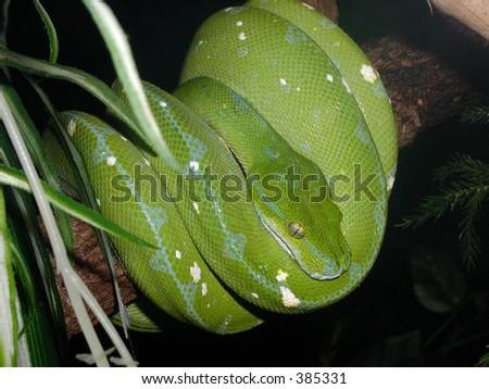 Green Tree Python in Waiting - stock photo