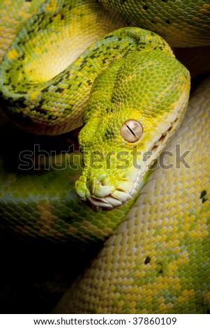Green Tree Python (Morelia viridis). - stock photo