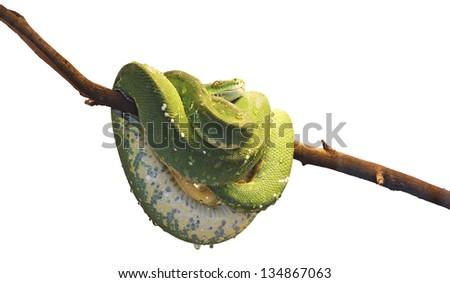 Green tree python,  morelia viridis, isolated on white background - stock photo