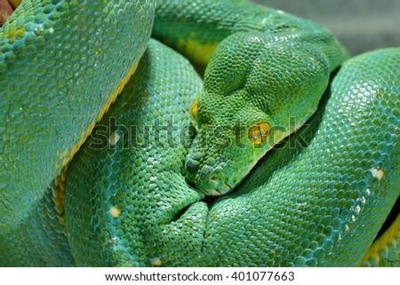 Green tree python Morelia viridis. Young green snake folded - stock photo